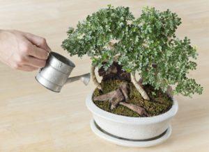 bonsai innaffiare piante florgarden treviso